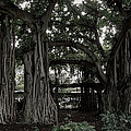 Hawaiian Banyan Trees by Daniel Hagerman