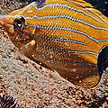Hawaiian Butterfly Fish by Bill Owen