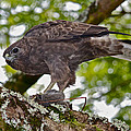 Hawaiian Hawk With Mouse by Venetia Featherstone-Witty