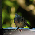 Hawaiian Mourning Dove by Patricia Griffin Brett