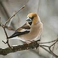 Hawfinch by Daniel Csoka
