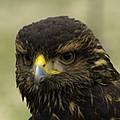 Hawk 1 by John Straton