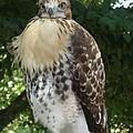 Hawk 2 by Kerri Mortenson