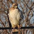 Hawk #21 by Todd Sherlock