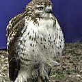 Hawk 3 by John Straton