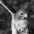 Hawk Attack Black And White by Dan Sproul