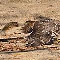 Hawk Attack by Roy Hansen