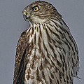 Hawk Beauty On The Lookout by Leslie Reagan -  Joy To The Wild Photos