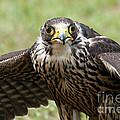 Hawk Eyes by Yvette Bielert