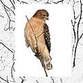 Hawk Framed In Branch Outline by Crystal Heitzman Renskers