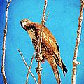 Hawk In A Glow by Bobbee Rickard