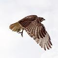 Hawk In Flight by Lori Tordsen