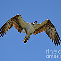 Hawk In Flight by Meandering Photography