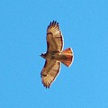 Hawk In Flight by Stacey Pollio