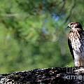 Hawk In Tree by Kenny Glotfelty