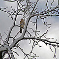 Hawk In Winter by Karen Adams