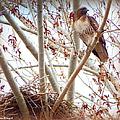 Hawk Nesting IIi by Bobbee Rickard