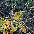 Hawk On A Limb by MTBobbins Photography