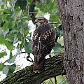 Hawk On Alert by Brett Beaver