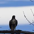Hawk On Branch by Brian Jordan