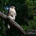 Hawk On Norris Lake by Douglas Stucky