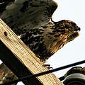 Hawk On Telephone Pole by William Selander
