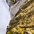 Hawk Owl Pictures 8 by Owl Images