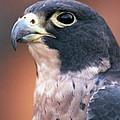 Hawk by Pamela Critchlow