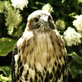 Hawk Portrait by Gothicrow Images