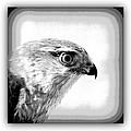 Hawk - Raptor by Travis Truelove