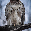 Hawk Red Tailed by Ronald Grogan