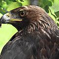 Hawk Scouting by Sotiris Filippou