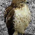 Hawk V3c by John Straton