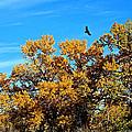 Hawks Afar by Bob Hislop