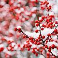Hawthorn Berries by Alexey Stiop