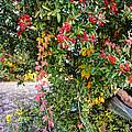 Hawthorn Berry by Savannah Gibbs