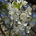 Hawthorn Flowers by Valerie Kirkwood