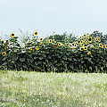 Hay Bales And Sunflowers by Cricket Hackmann