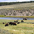 Hayden Valley Bison Herd In Yellowstone National Park by Catherine Sherman