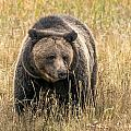 Hayden Valley Sow In Tall Grass by Yeates Photography