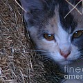 Haystack Cat by Greg Patzer
