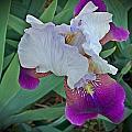 Hdr Iris by Regina McLeroy