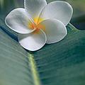 He Aloha No O Waianapanapa - White Tropical Plumeria - Hawaii by Sharon Mau