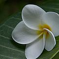He Aloha No O Waianapanapa - White Tropical Plumeria - Maui Hawaii by Sharon Mau