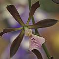 He Pua Ke Aloha - The Flower Of Love - Orchidea Tropicale by Sharon Mau
