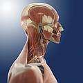 Head Anatomy, Artwork by Science Photo Library