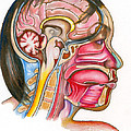 Head And Neck Anatomy by Gwen Shockey