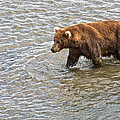 Head Grizzly Bear With Intense Fishing  Focus For Salmon In Moraine River In Katmai Np-ak by Ruth Hager