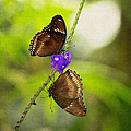 Head Over Heels Butterfly Love by Photography  By Sai