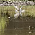 Headless Snowy Egret Of Rum Creek by Donna Brown